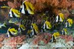 Bannerfish 11tc 0181 Stephen WONG copy