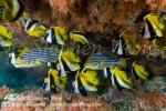 Bannerfish 13tc 0187 Stephen WONG copy