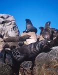 Cape Fur Seal 01